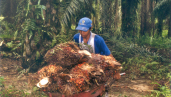 Man with barrow full of oil palm nuts on plantation in Riau, Indonesia. By Milieudefensie/Myrthe Verwey