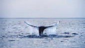 Critically Endangered Western Gray Whale