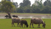 Water buffalo in the area to be flooded by the NT2 reservoir